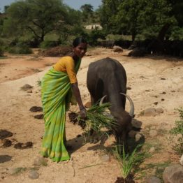 Milk buffalo owner Poorova is one of 15,000 women that have started their own dairy through Gram Abhyudaya Mandali NGO.